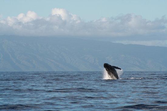 Scotch Mist Sailing Charters: Continued whale breach