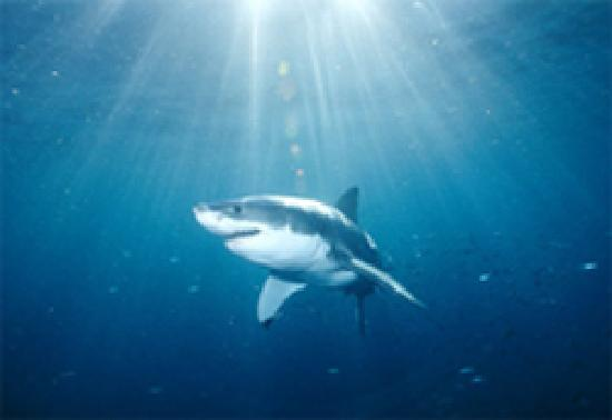 The Bay Lodge: Great White Shark Cage Diving