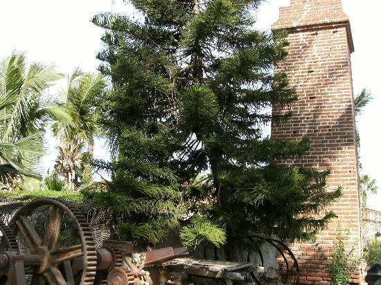 El Molino : Pine trees grow there, too.