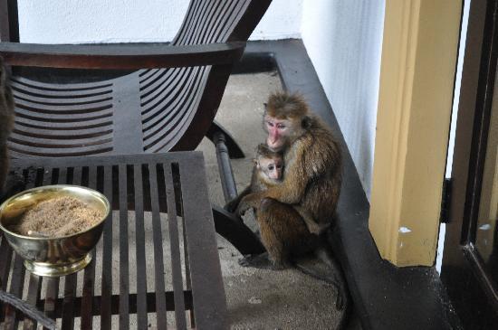 Cinnamon Lodge Habarana: Famigliola fuori la camera in attesa della frutta