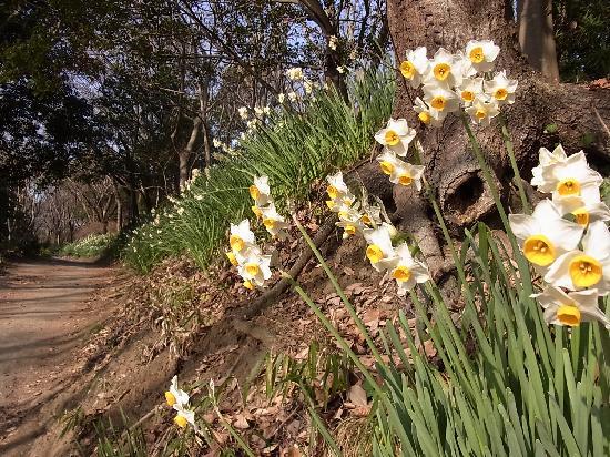 Ninomiya-machi, Japon : 頂上に行く途中の水仙が咲く道