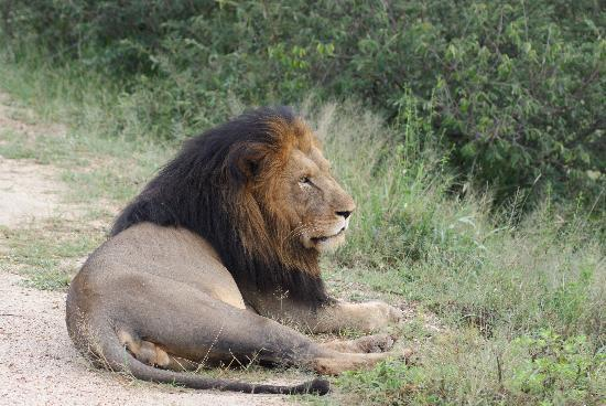 Kruger National Park, Sydafrika: The King of the Kruger