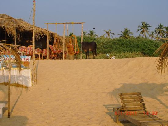 Bougainvillea Guest House Goa: Sinquerim beach, spot the cow