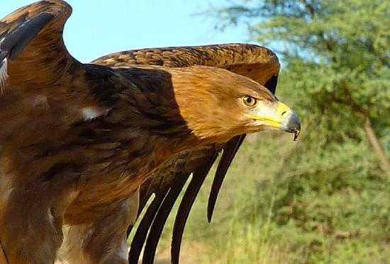 Al Maha, A Luxury Collection Desert Resort & Spa: Birds of Prey Flying