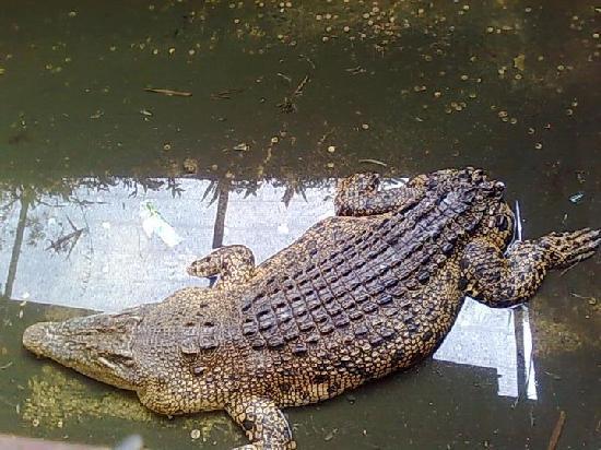 Jong's Crocodile Farm & Zoo : Tailless Crocodile