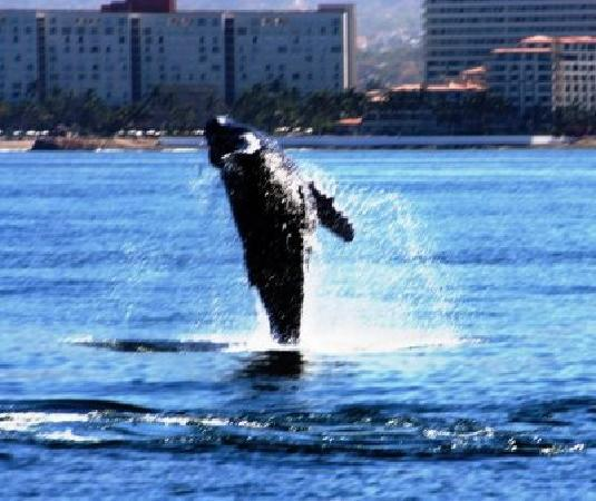 Villa del Palmar Beach Resort & Spa: whale in bay by VDP