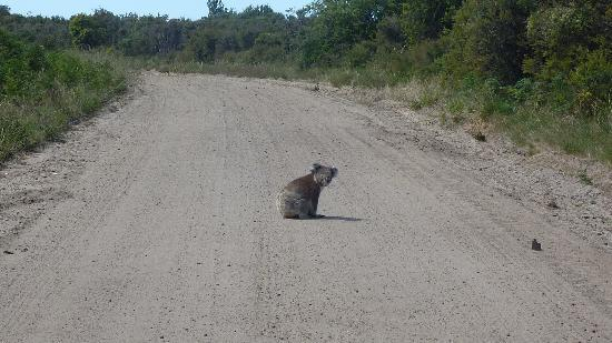Koala Picture Of French Island Victoria Tripadvisor