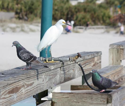 The Birds Are Daily Visitors At The Venice Florida Fishing Pier