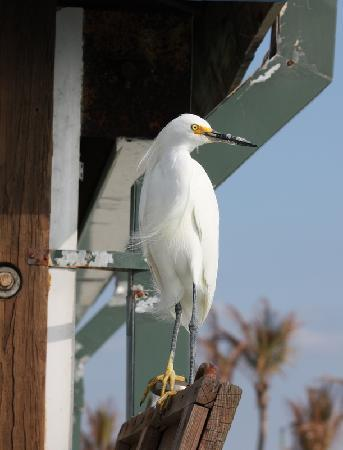 An Egret Looking For Food At The Venice Florida Fishing Pier