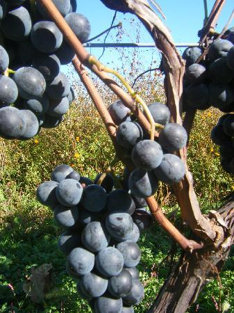 Tsurunuma Winery : はちきれそうやで^^