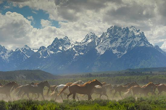 Moose, WY: The Triangle X horse herd being pushed out to pasture