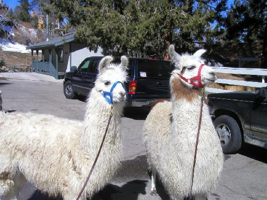 Pine Knot Guest Ranch: Dolly and Willow llamas to walk