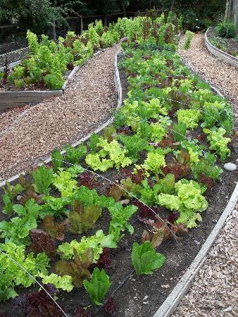 Cambria Pines Lodge: Lettuce in Organic Kitchen Garden