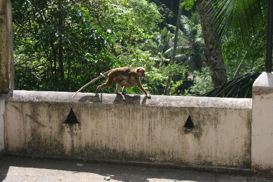 Tangalle, Sri Lanka: Monkeys on the first terrace