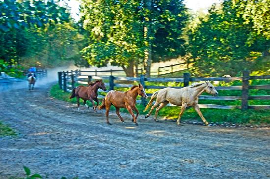 Western Pleasure Guest Ranch: Horses running in from the meadow