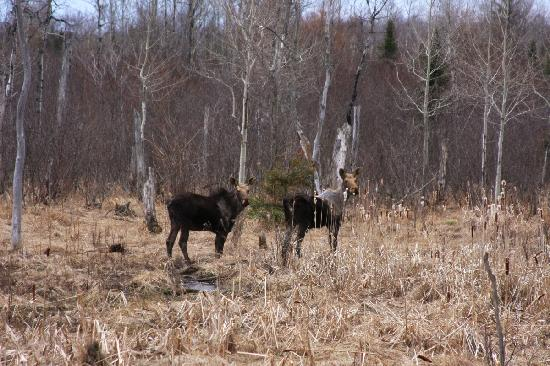 Lake Shore Salzburger Hof Resort: Spring Moose in Batchawana