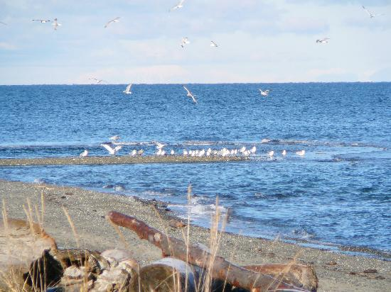 Buena Vista by the Sea: Qualicum Beach Gulls
