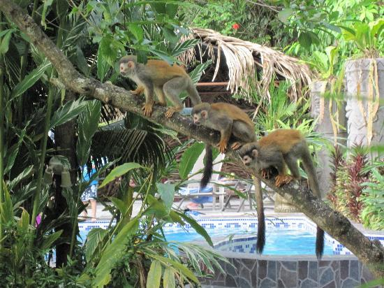 La Posada Private Jungle Bungalows: Monkeys hanging out near the pool