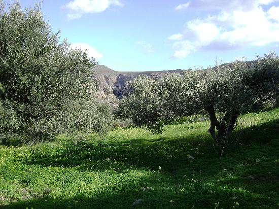 Kato Zakros Palace Apartments: Einer von unzähligen Olivengärten