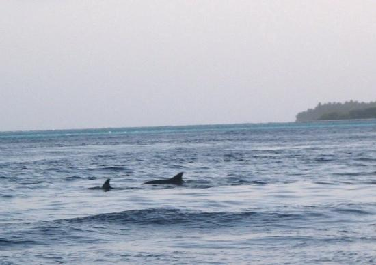Vilamendhoo Island Resort & Spa: Dolphins 50 yards off our beach!!
