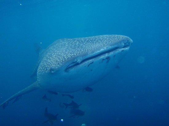ScubaTech: Whale Shark visits Destin