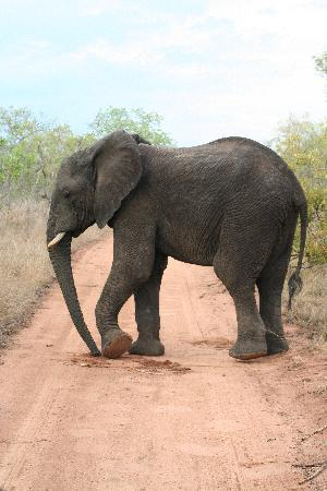 Chapungu Tented Bush Camp : Elephant