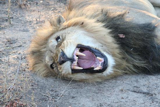 Chapungu Tented Bush Camp : Male Lion