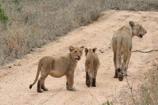 Chapungu Tented Bush Camp : Female lion & cubs