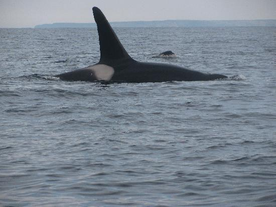 Trinity, Canada: adult killer whale and baby