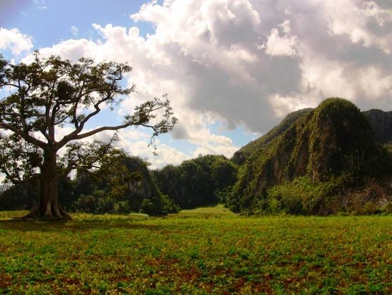 Scenic visitas abound in Viñales--here a relative of the baobab tree and limestone magote in the