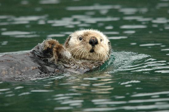 โฮเมอร์, อลาสกา: Alaska Sea Otter