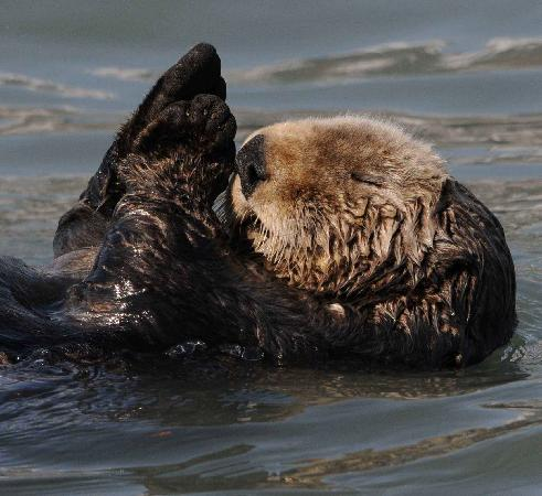 True North Kayak Adventures: Sleeping otter