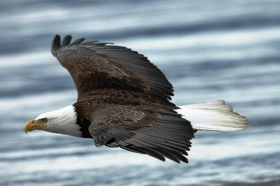 True North Kayak Adventures: Bald Eagle