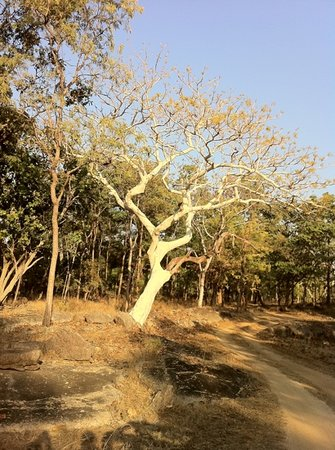 Seoni District, India: Ghost tree @ Pench