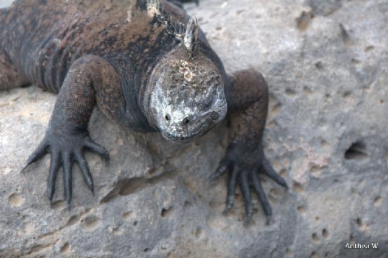 San Cristobal, Equador: Its an Iguana on the prowl