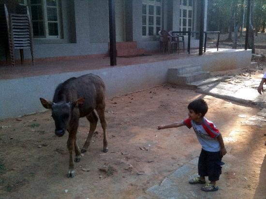 Bannerghatta Nature Camp: Kid trying to feed a gaur calf in the premises
