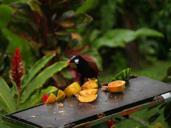 Arenal Observatory Lodge & Spa : You will see LOTS of birds
