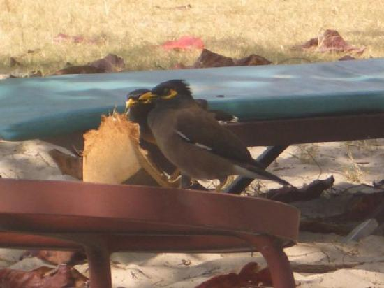 Federal Villa Beach Resort : 良く来るかわいい鳥