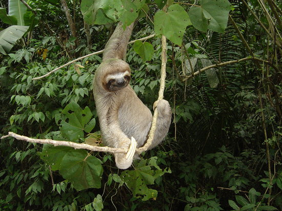 Nature Specialist Tours: Three-toed Sloth - Oso Peresozo