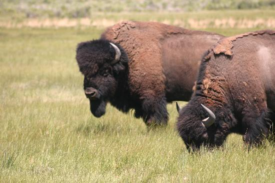 Zapata Ranch - A Nature Conservancy Preserve: A herd of 2,500 bison is run on the ranch