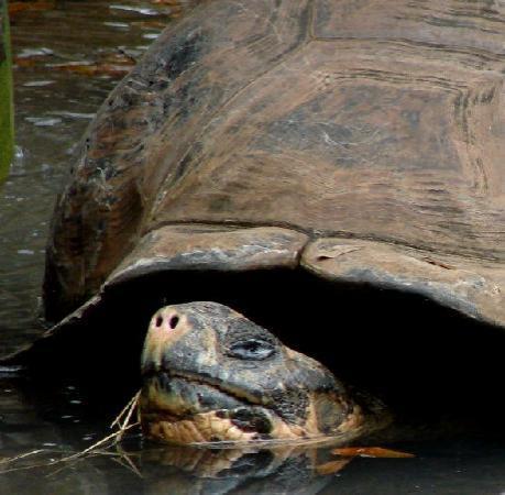St. Augustine Alligator Farm Zoological Park: Tortoise at the St. Augustine Alligator Farm, Florida