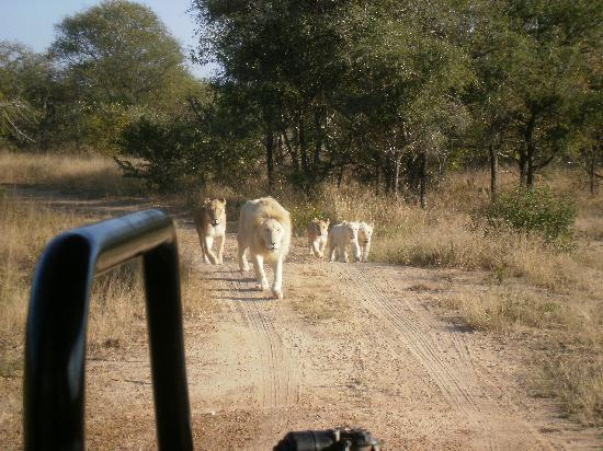 Elandela Private Game Reserve: paseos internos a ver leones