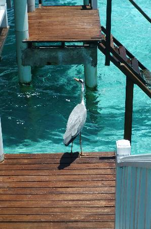 Centara Grand Island Resort & Spa Maldives: A visitor!