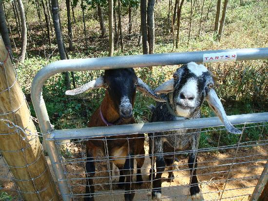 Compassionate Expressions Mountain Inn & Healing Sanctuary: Meet Misty & Max the Nubian Goats
