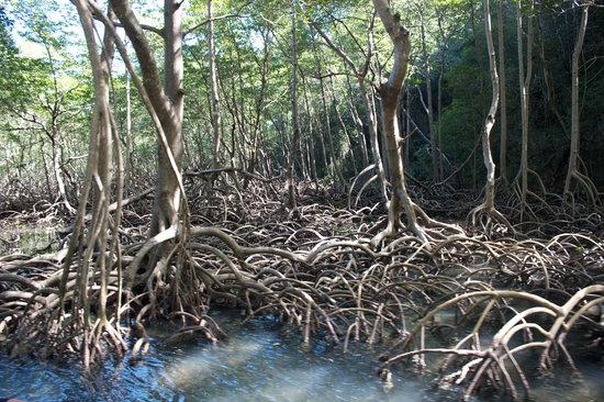 Parque Nacional Los Haitises: mangroves