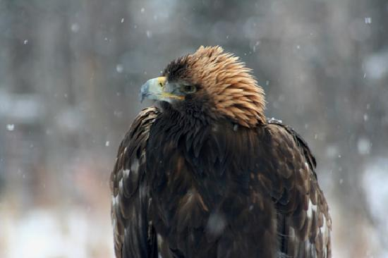 Aspen Center for Environmental Studies : Resident golden eagle in the snow.
