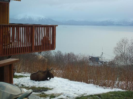 Ship Captain's View: MOOSE IN BACK YARD