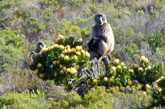 Cape Convoy: Baboons!