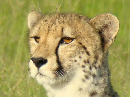 Arathusa Safari Lodge: Cheetah