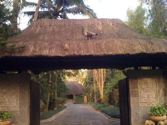 The Farm at San Benito: Peacock on the roof